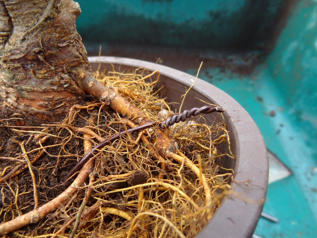 Mulberry Root for potting