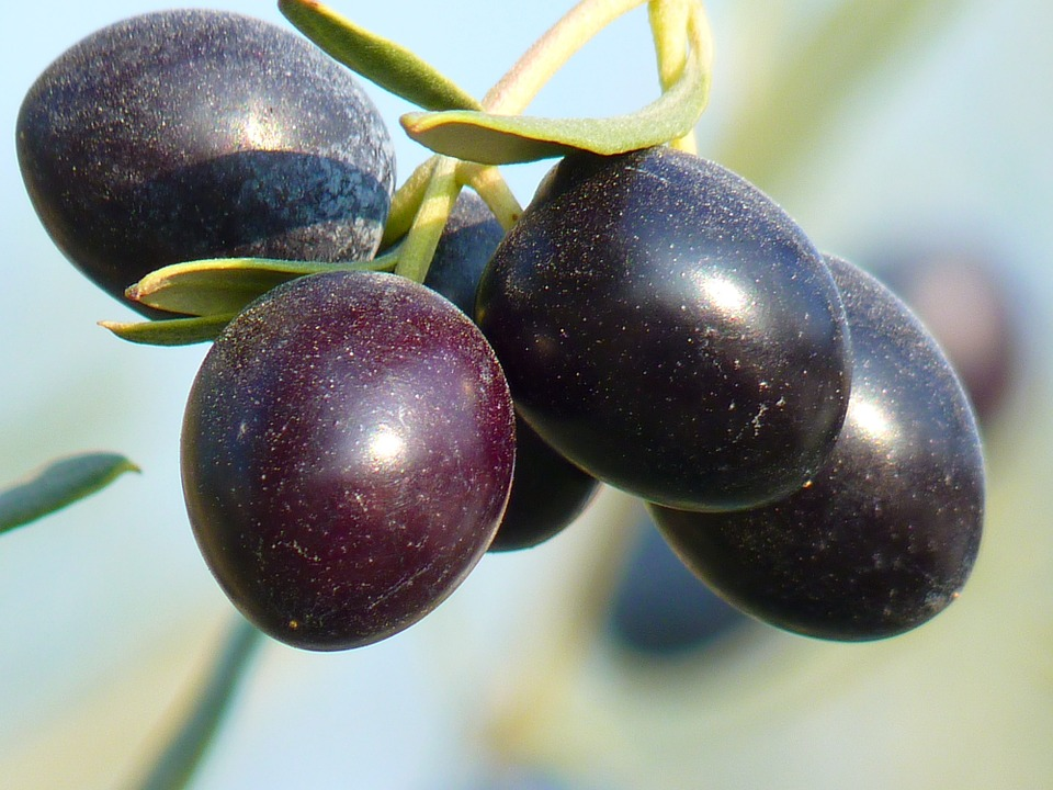 Olive Fruit in its branch